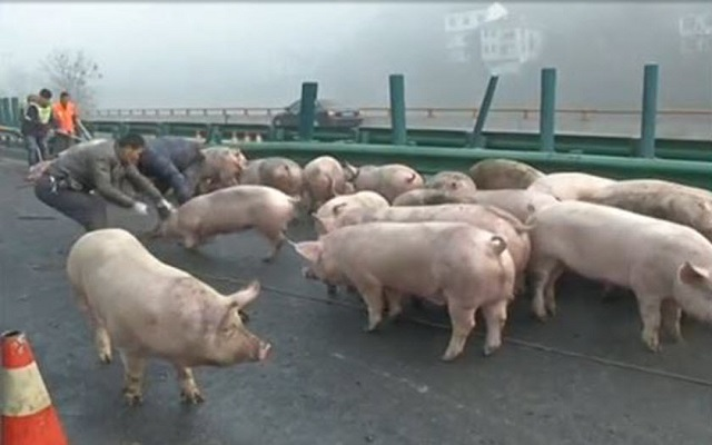 Runaway pigs block north China highway for hours